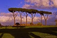I pini di Roma stanno morendo, salviamoli !